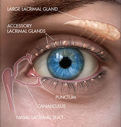Tear Gland Anatomy